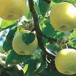 ミネラル栽培二十世紀梨