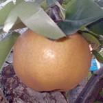 ミネラル栽培新興梨